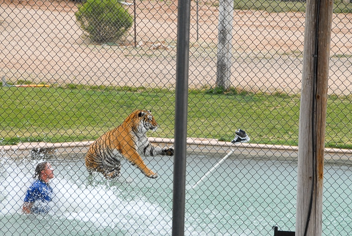 Tiger Splash Out of Africa Park in pool