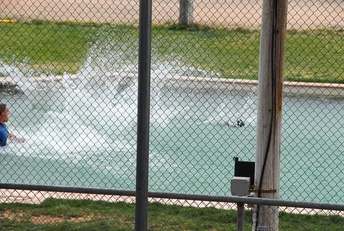 Tiger Splash Out of Africa Park Under water