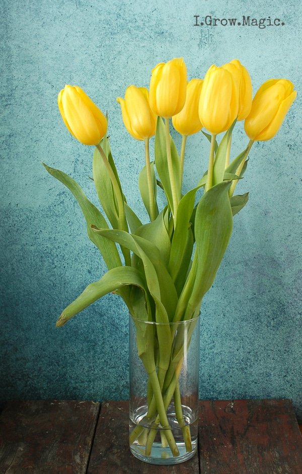 Yellow Tulips on weathered wood with blue wall - BoulderLocavore.com