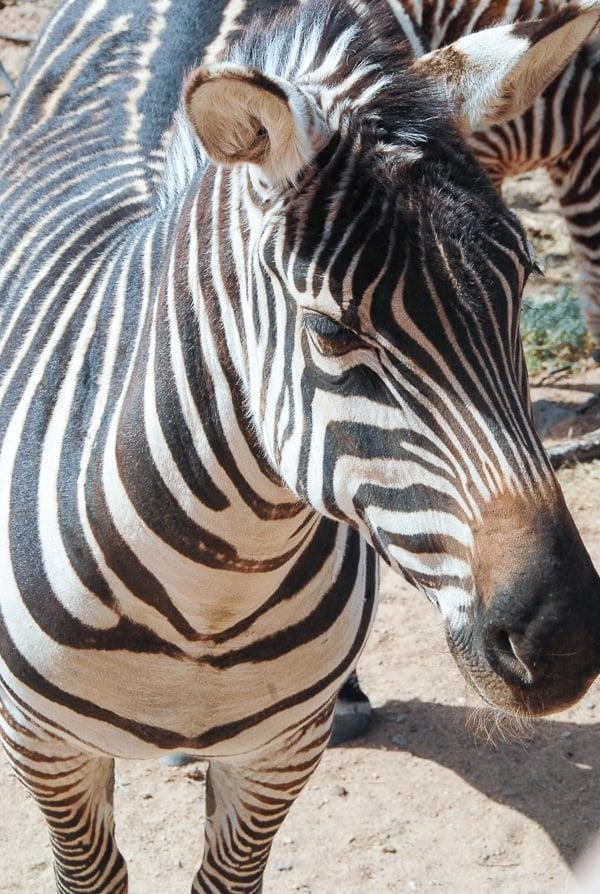 Zebra Out of Africa Park - BoulderLocavore.com