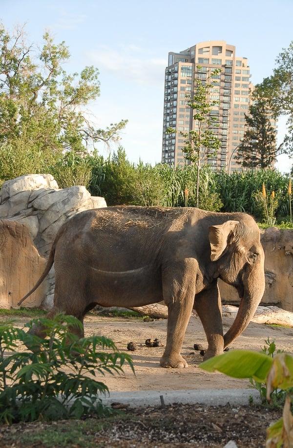 Denver Zoo Bull Elephant - BoulderLocavore.com