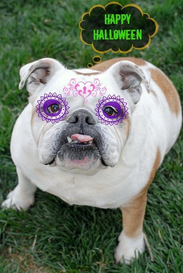 Lola the English Bulldog Halloween | BoulderLocavore.com
