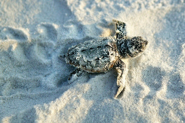 Turtle Hatching - Gulf County Florida