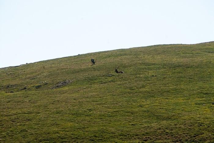 2 Bull Elk - Rocky Mtn Natl Park - BoulderLocavore.com