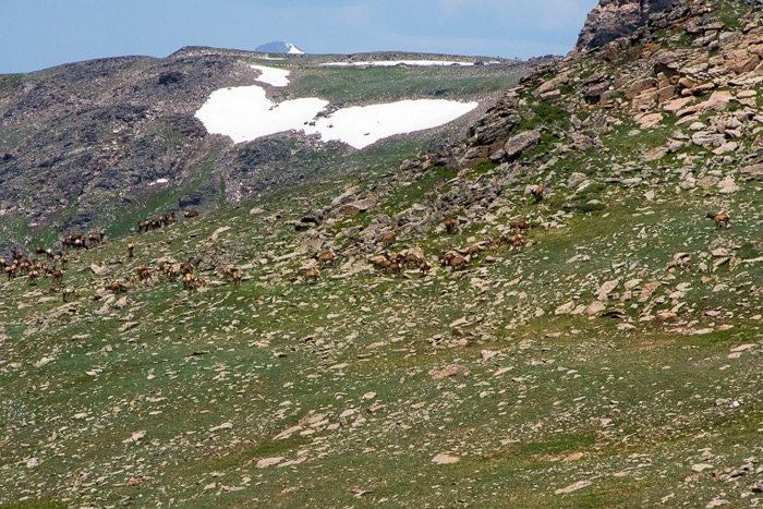 Herd of female elk and babies - Rocky Mtn Natl Park - BoulderLocavore.com