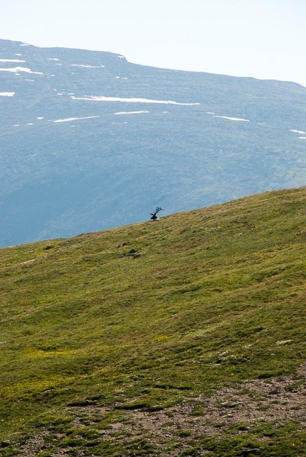 Lone Bull Elk - Rocky Mtn Natl Park - BoulderLocavore.com