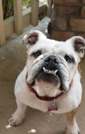 A Special Day for Lola the English Bulldog