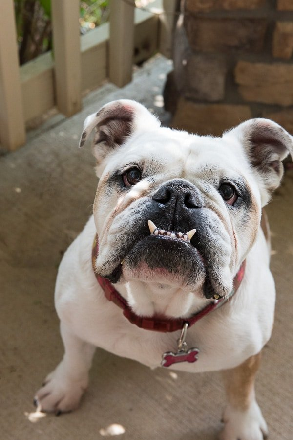Lola the English Bulldog - BoulderLocavore.com
