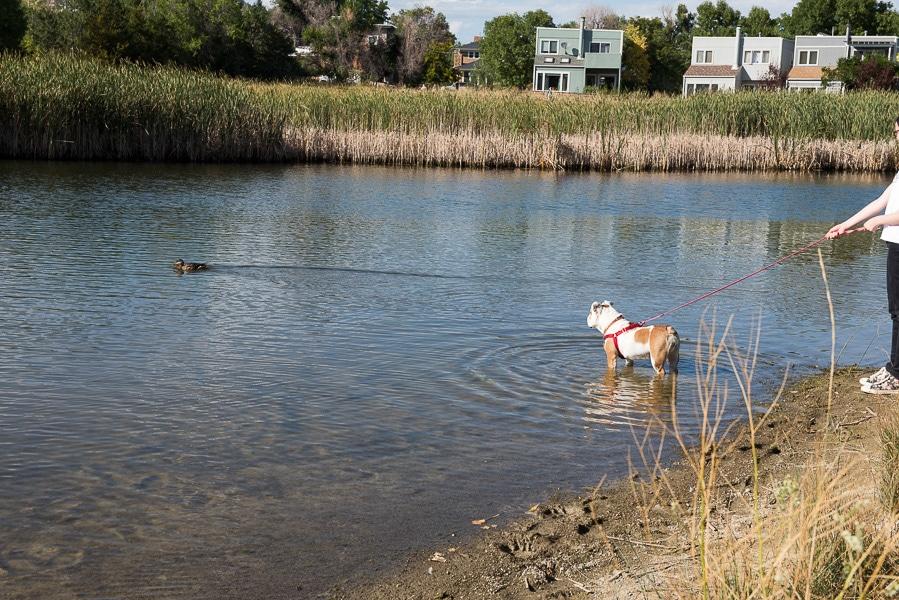 Lola the Bulldog goes on a walk and spots a duck - BoulderLocavore.com
