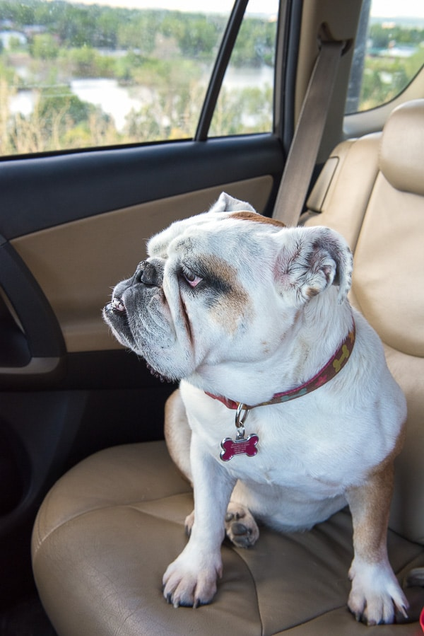 Lola the Bulldog rides in the car - BoulderLocavore.com