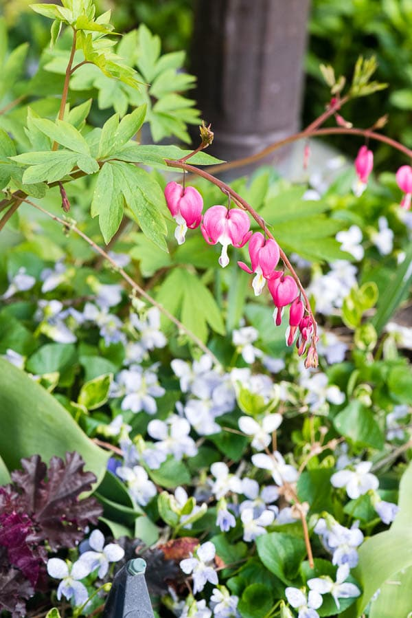 Bleeding Hearts in a shade garden