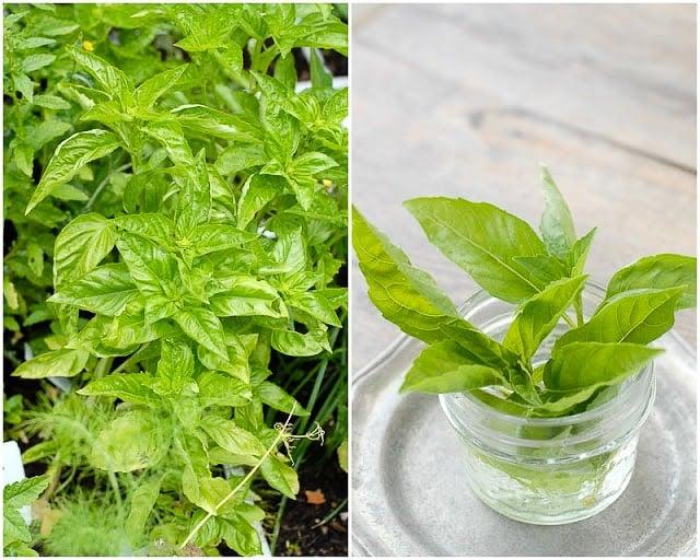 Basil garden and in jar