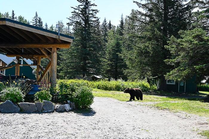 bear at Taku lodge