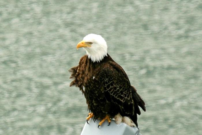 juneau bald eagle
